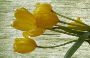 tulipclose