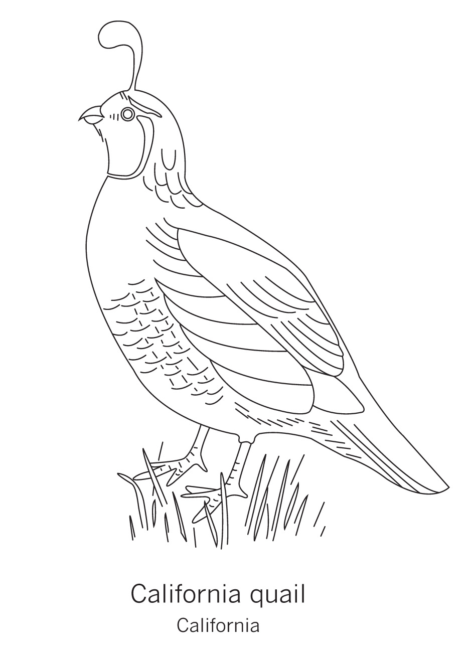 quail coloring page - free coloring pages of california state bird